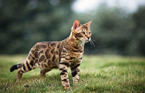 бенгальская-кошка